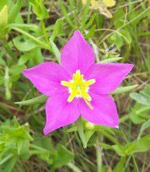 Meadow-pink
