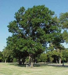Shumard Red Oak