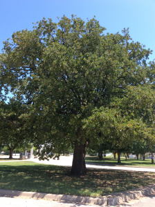 A large post oak tree