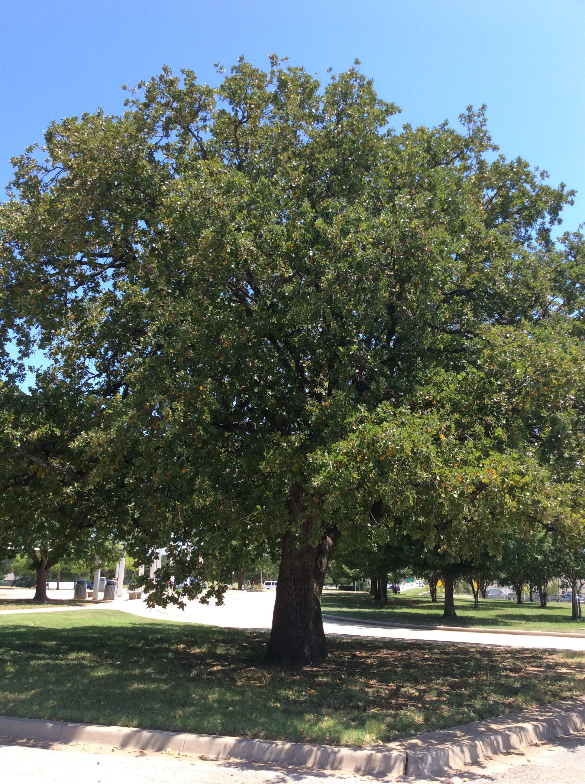 Post Oak In The Cross Timbers Cross Timbers Urban Forestry Council