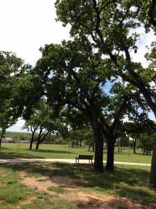 Post oak trees in a park