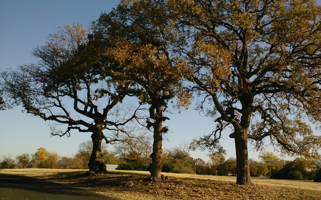 Post Oak in the Cross Timbers