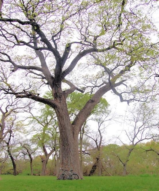 One of the trees on the tour, the Memorial Oak near Benbrook, TX