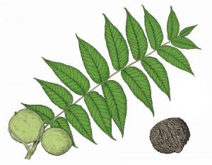 Black walnut full leaf and walnut fruit